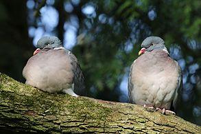 Wood pigeons (Columba palumbus).jpg