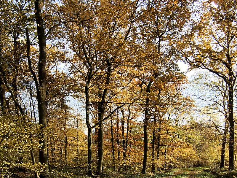 XN Autumn Beech Forest 508