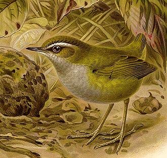 Bushwren - Image: Xenicus Longipes Buller