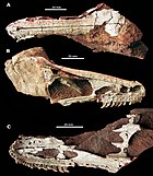 Holotype skull shown from above, the right side, and below