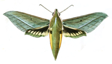 Xylophanes virescens.png