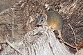 Yellow-footed Antechinus (Antechinus flavipes) (17067818099).jpg