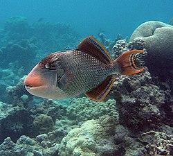 Yellow-margin triggerfish at Palmyra Atoll NWR (5123999534).jpg