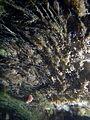 Young Aquatic fungus champignonAquatique à lamelles Moyenne-Deûle 2015 05 44 F.Lamiot.jpg