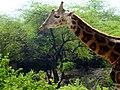 Young Giraffe.jpg
