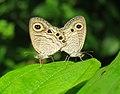 Ypthima huebneri – Common Four-ring mating 35.jpg