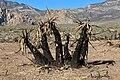 Yucca schidigera 12.jpg