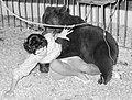 Zangeres Ria Kuyken die tijdens een generale repetitie in Circus Toni Boltini wordt aangevallen door een beer (worldpressuitsnede).jpg