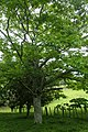 Zanthoxylum ailanthoides kz03.jpg