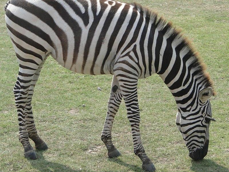 File:Zebra - panoramio - Anil Kaushik.jpg