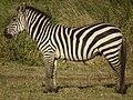 Zebras in Tanzania 3943 cropped Nevit.jpg