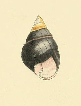 Achatinella apexfulva - Drawing of a shell of Achatinella apexfulva.