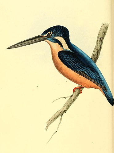 Zoological Illustrations Volume I Plate 50.jpg