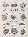 Zoologie. Polypes. Flustres (NYPL b14212718-1268623).jpg