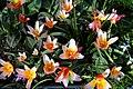 'Tulipa kaufmanniana' water-lily tulip cultivar at Capel Manor College Gardens Enfield London England.jpg