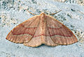 (1962) Barred Red (Hylaea fasciaria) (9257559796).jpg