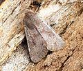 (2185) Lead-coloured Drab (Orthosia populeti) - Flickr - Bennyboymothman (2).jpg