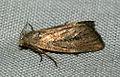 (2379) Small Rufous (Coenobia rufa) (4838461511).jpg