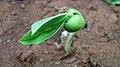 (Canavalia lineata) sprout at Madhurawada.JPG