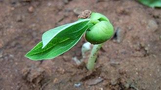 Kanada (philosopher) - Image: (Canavalia lineata) sprout at Madhurawada