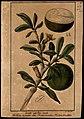 (Crescentia cujete), da Coleção Brasiliana Iconográfica.jpg