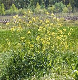 (MHNT) Brassica napus - Habit.jpg