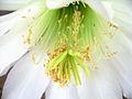 × Harrisinopsis jusbertii (3536634708).jpg