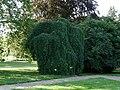 Łańcut Palace - japanese pagoda tree in park.jpg