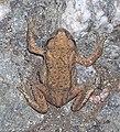 Žabka u Konojed.jpg