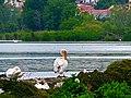 Πελεκάνος και παπάκια στην λίμνη της Καστοριάς.jpg