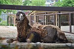 Двогорбий верблюд у Київському зоопарку.jpg
