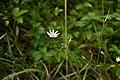 Звездчатка болотная KR 01.jpg