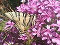 Метелик Подалірій.JPG