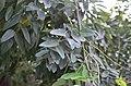 Софора японская плакучая в Одессе. Фото 4.jpg