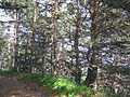 Хвойний ліс. Крим.jpg