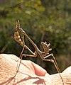 Эмпуза полосатая - Empusa fasciata (36844234984).jpg