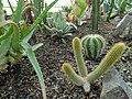 گلخانه کاکتوس دنیای خار در قم. کلکسیون انواع کاکتوس 43.jpg