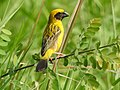 นกกระจาบทอง Asian Golden Weaver by Peak Hora 13.jpg