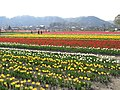 チューリップまつり(2009) - panoramio.jpg