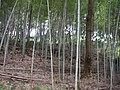 丸山公園 - panoramio (1).jpg