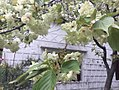 宝塔山公园的郁金樱花 近.jpg