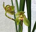 春劍天府荷 Cymbidium longibracteatum 'Sichuan Lotus' -香港花展 Hong Kong Flower Show- (13219161725).jpg