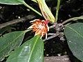 木欖 Bruguiera gymnorrhiza -香港濕地公園 Hong Kong Wetland Park- (9204834571).jpg