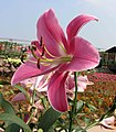 東方喇叭雜交百合 Lilium Profundo -廣州冠勝農業公園 Guangzhou, China- (45238748972).jpg