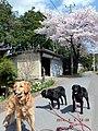 犬と桜 - panoramio.jpg