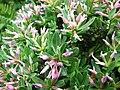 瑞香屬 Daphne oleoides 'Rosa' -維也納高山植物園 Belvedere Alpine Garden, Vienna- (28973648100).jpg