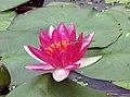 睡蓮-霞妃 Nymphaea Xiafei -深圳洪湖公園 Shenzhen Honghu Park, China- (14395099716).jpg
