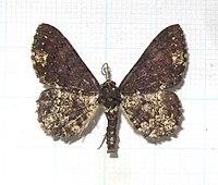 碎三線尺蛾-碎白鋸線尺蛾 Abaciscus tristis Butler, 1889 (9183566992).jpg