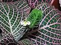 紅網紋草 Fittonia verschaffeltii -香港公園 Hong Kong Park- (9240230976).jpg
