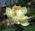 美洲黃蓮 Nelumbo lutea -青島中華睡蓮世界 Qingdao International Horticultural Expo, China- (14667139974).jpg